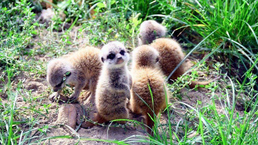 Gleich vier auf einen Streich: Im Zoo Hoyerswerda haben vier kleine Erdmännchen das Licht der Welt erblickt.